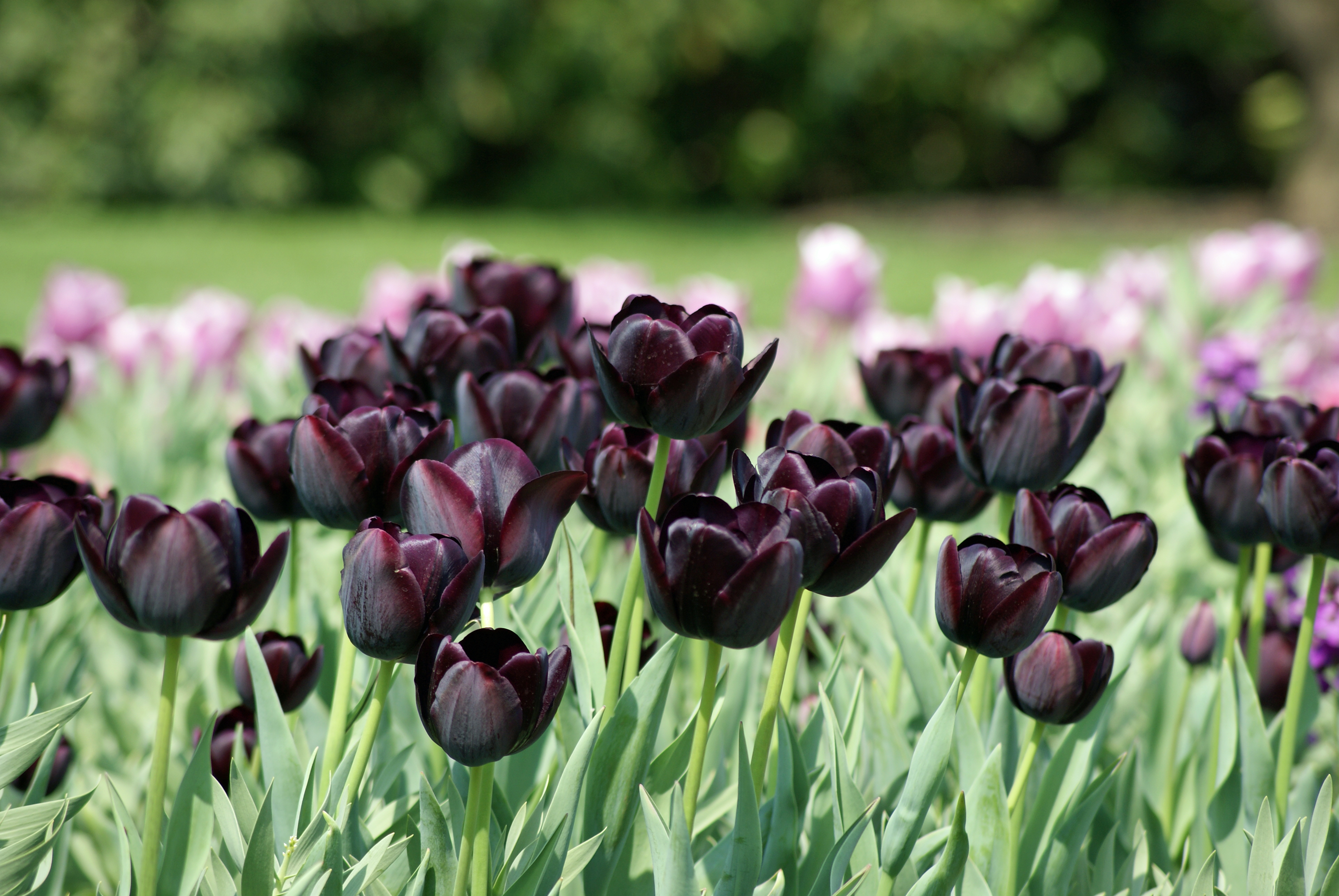 purple tulips reflections for my soul