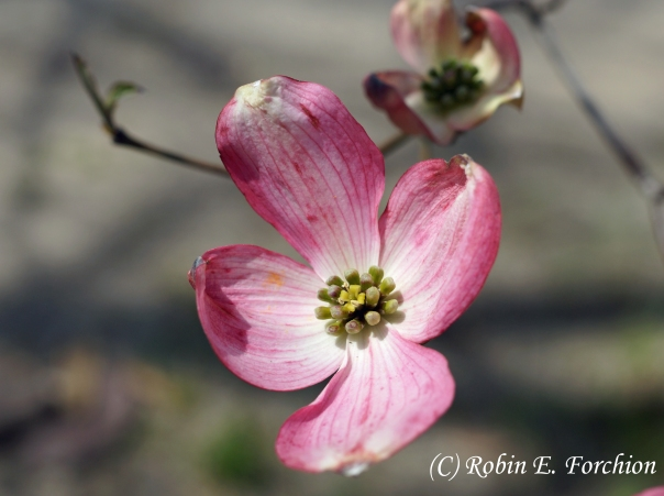 A gift from my brother to our mother, a Dogwood Tree.