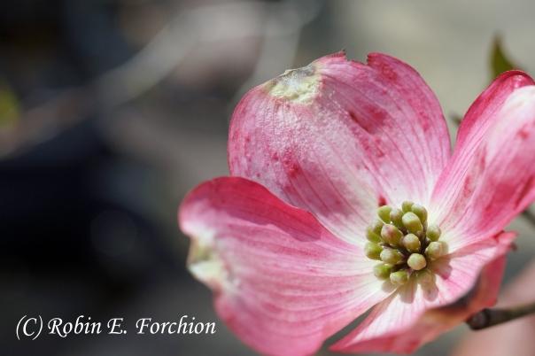 Bloom on a Dogwood Tree