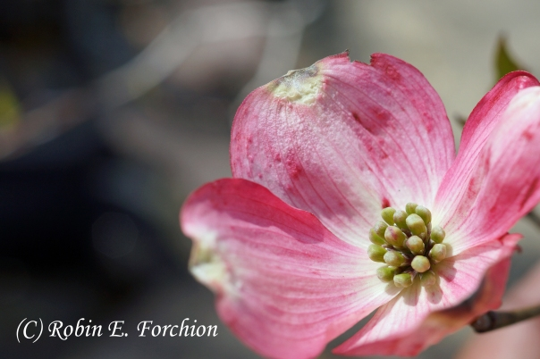 Bloom on a Dogwood Tree