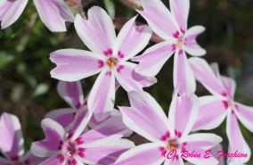 Mountain Pinks - PHLOX