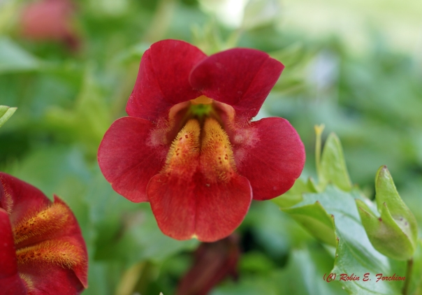 MIMULUS OR MONKEY FACE