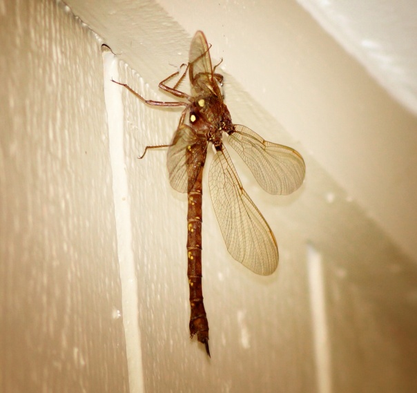 Mr. Dragonfly left my door around 8:30pm.