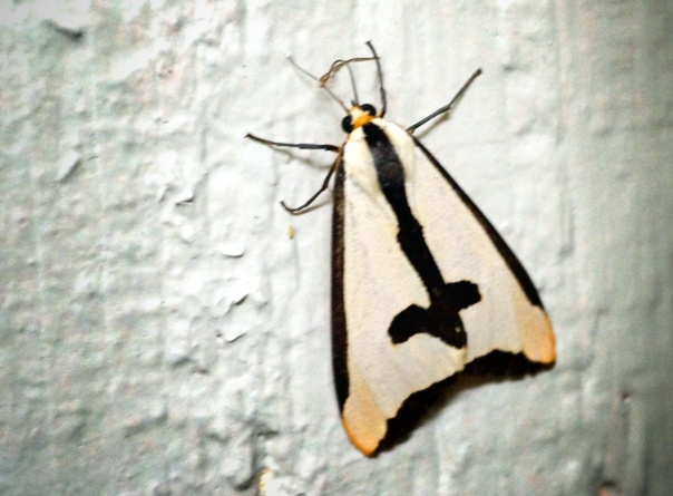 Does anyone know what kind of moth this is?