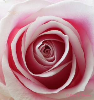 Swirls of a rose