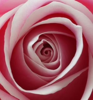 I love how the center of the rose swirls