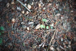 More tiny pinecones on the ground