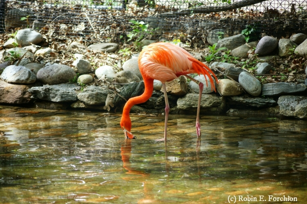 Flamingos - Philadelphia Zoo