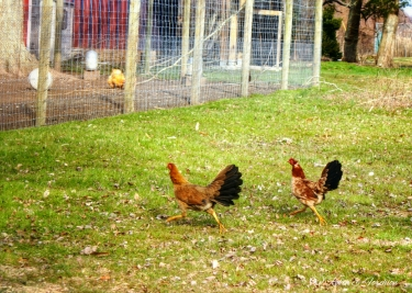 Some free roaming chickens