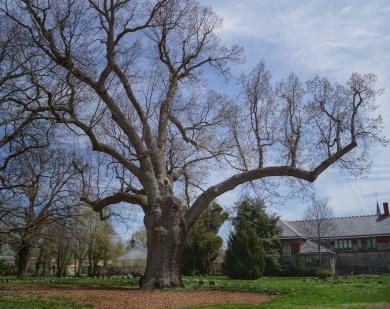 Old Oak Tree2
