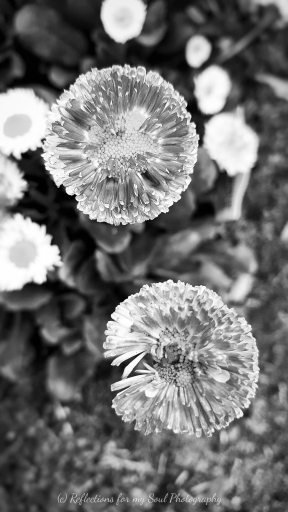 tattered pompoms1