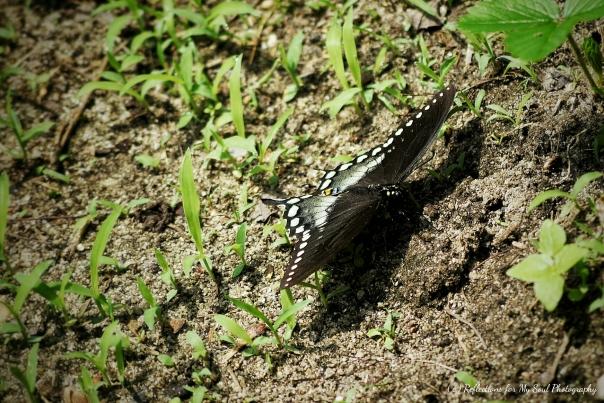 butterfly50