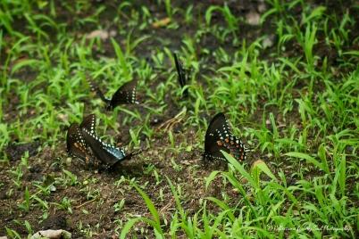 butterfly51