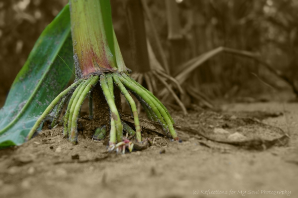 DSC00236-Corn Stalk-Selective color